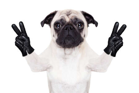 ok sign: cool pug dog with victory or peace fingers wearing gloves