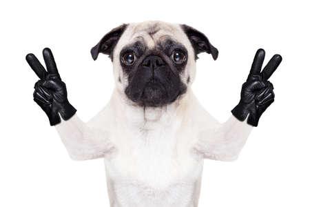 simbolo della pace: pug cane fresco con vittoria o di pace le dita indossando guanti Archivio Fotografico