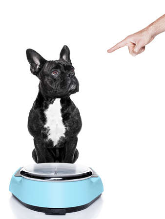 fat dog on scale being punished for gaining weight by his owner, isolated on white background photo
