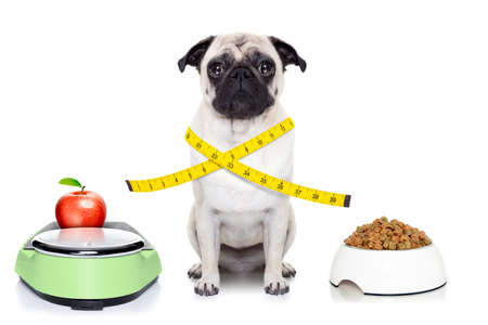 healthy pug dog beside a scale , bowl and measuring tape around waist isolated on white background photo