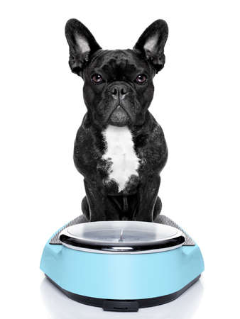 healthy dog on scale wondering about weightloss and how to solve this problem, isolated on white background