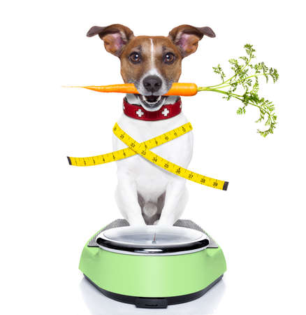 healthy dog on scale with carrot in mouth and measuring tape around waist isolated on white background Stock Photo