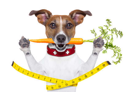 healthy dog  with carrot in mouth and measuring tape around waist isolated on white background photo