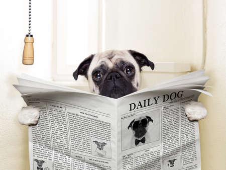 pug dog sitting on toilet and reading magazine having a break photo