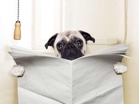 papel higienico: perro pug sentado en el inodoro y la lectura de la revista que tiene una rotura
