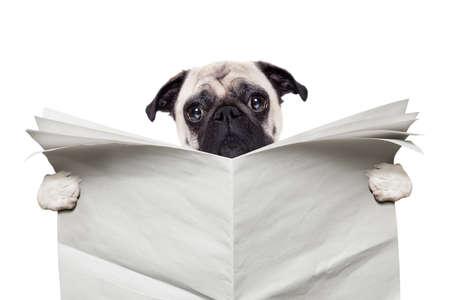 Mops Hund liest eine leere weiße leere Zeitung isoliert auf weißem Hintergrund Standard-Bild