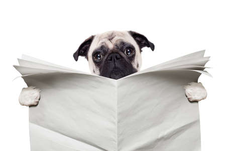 pug dog reading a blank white empty newspaper isolated on white background Stock Photo