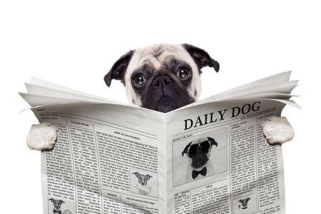 zvířata: mops pes čtení zprávy na noviny, izolovaných na bílém pozadí