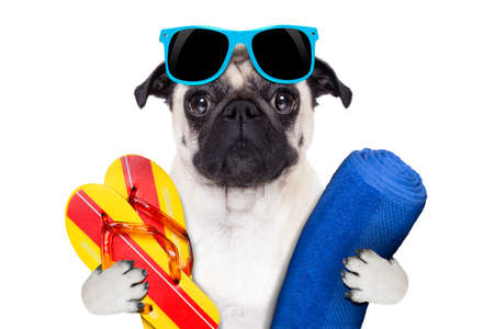 flip flops on the beach: pug dog on summer vacation with flip flops and a big blue towel wearing fancy blue sunglasses Stock Photo