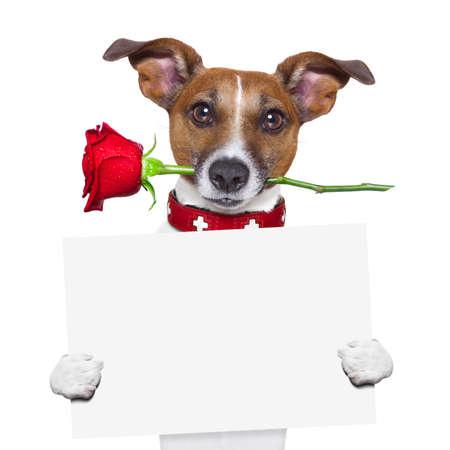 dog days: valentines perro con una rosa roja en la boca, aislados en fondo blanco, sosteniendo una pizarra, banner o cartel Foto de archivo