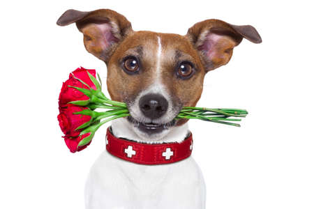 valentines dog: valentines dog with red roses in mouth , isolated on white background