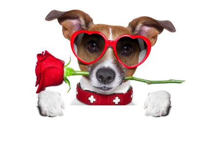 valentines dog: valentines dog with a red rose in mouth , isolated on white background, behind a white and blank banner or placard