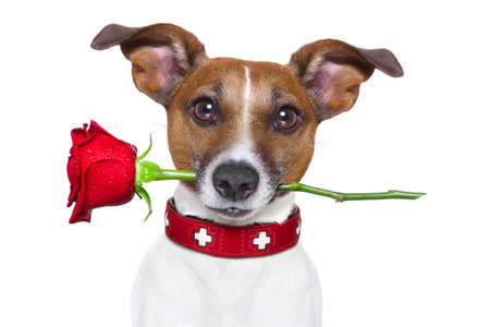 valentines dog: valentines dog with a red rose in mouth , isolated on white background Stock Photo