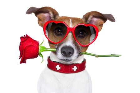 valentines dog with a red rose in mouth , isolated on white background, wearing heart shaped red sunglasses Stock Photo