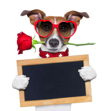 valentines dog with a red rose in mouth , isolated on white background,holding a blackboard , banner or placard Foto de archivo