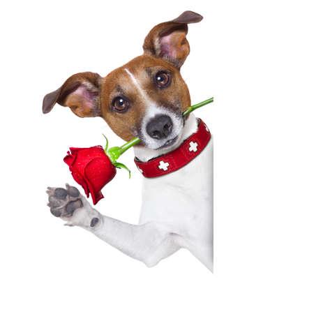 valentines hond met een rode roos in de mond, op een witte achtergrond, naast een witte banner of plakkaat