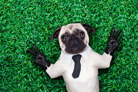 pug dog in tuxedo or suit with tie resting on grass or meadow in the park with victory or peace fingers photo