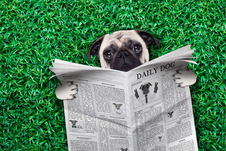pug dog  resting on grass or meadow in the park reading a newspaper photo