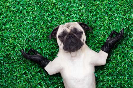 yoga cane pug meditando su erba o prato nel parco con gli occhi chiusi