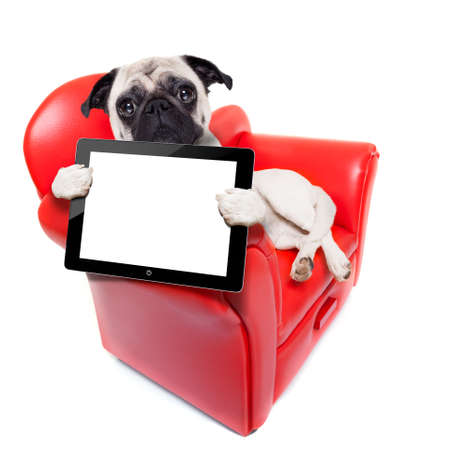 show dog: pug dog sitting on red sofa relaxing and resting while holding a tablet pc computer screen or digital display , isolated on white background