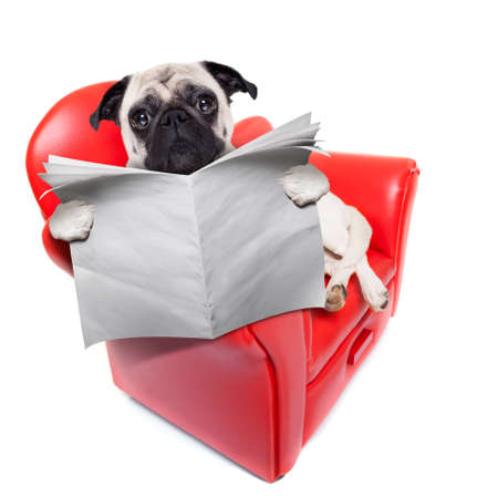 couch potato: pug dog reading newspaper while sitting relaxed on a cool red sofa or couch