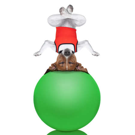 yoga dog posing in a relaxing upside down pose with both arms open and closed eyes balancing on a gym ball,  isolated on white background photo