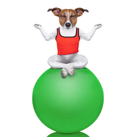 yoga dog posing in a relaxing pose with both arms open and closed eyes balancing on a gym ball,  isolated on white background