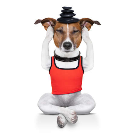 yoga dog posing in a relaxing pose with hot stones balancing on head , isolated on white background photo