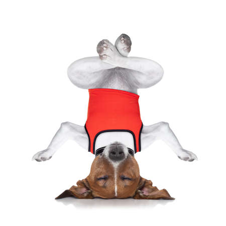 upside down: dog upside down relaxing with closed eyes doing yoga and balancing, isolated on white background Stock Photo