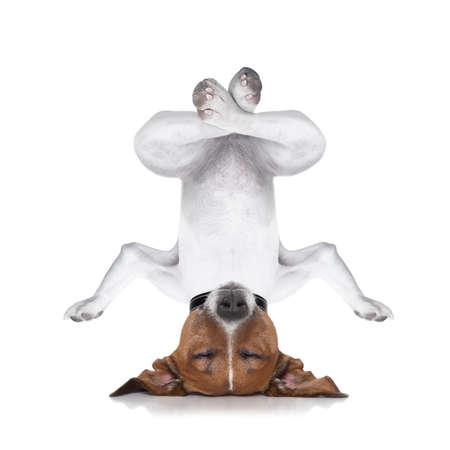 zooth�rapie: chien de d�tente � l'envers avec les yeux ferm�s font du yoga et d'�quilibre, isol� sur fond blanc