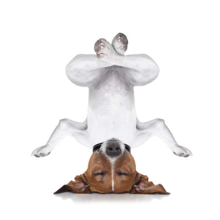 dog upside down relaxing with closed eyes doing yoga and balancing, isolated on white background Stock Photo