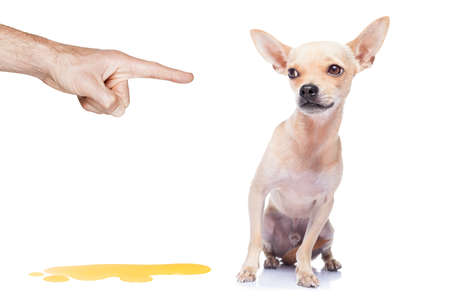 incontinence: chihuahua dog being punished for urinate or pee  at home by his owner, isolated on white background Stock Photo