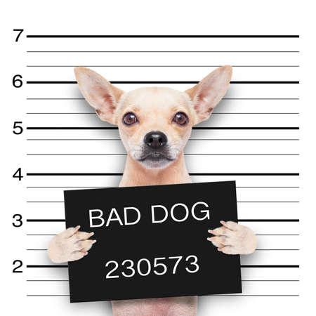 perro boxer: pug lindo divertido sosteniendo una pancarta mientras se toma una ficha policial