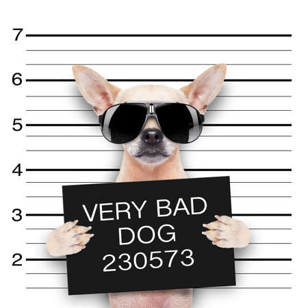 delinquent: funny cute pug holding a placard while a mugshot is taken