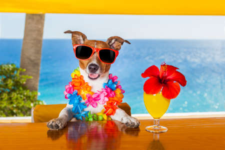 borracho: perro divertido fresco de beber c�cteles en el bar, en una fiesta de club de playa con vista al mar