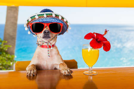 ünneplés: vicces hűvös chihuahua kutya iszik koktélok a bárban egy tengerparti klub party óceánra néző Stock fotó
