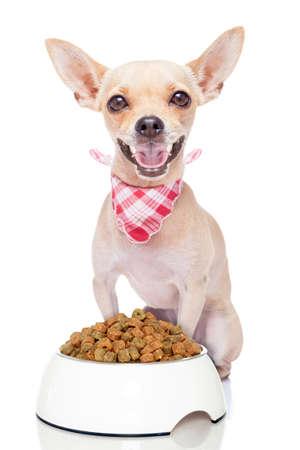 eten: hongerige chihuahua hond met een voerbak, geïsoleerd op witte achtergrond Stockfoto