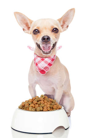 obedient: hungry chihuahua dog with a food bowl , isolated on white background Stock Photo