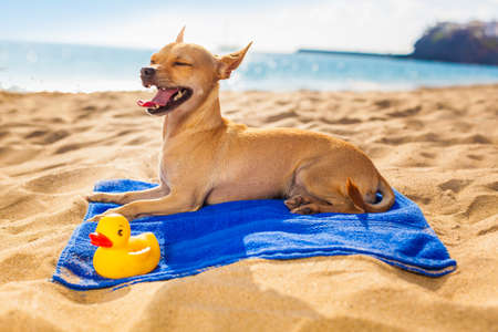 chihuahua dog at the ocean shore beach with yellow rubber duck while resting on blue towel photo