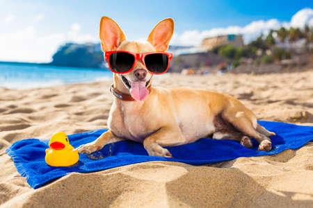 perro chihuahua en la playa orilla del mar con gafas de sol de color rojo divertido sonriendo a la cámara Foto de archivo