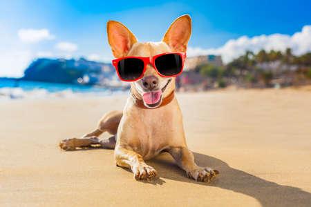 perros graciosos: perro chihuahua en la playa orilla del mar con gafas de sol de color rojo divertido y sonriente Foto de archivo