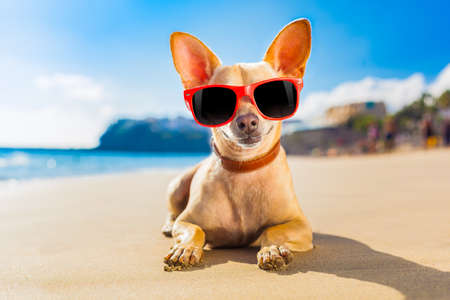 chihuahua dog at the ocean shore beach wearing red funny sunglasses