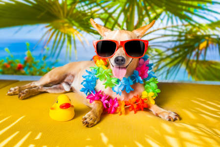 chihuahua dog under the shadow of a palm tree relaxing and resting photo