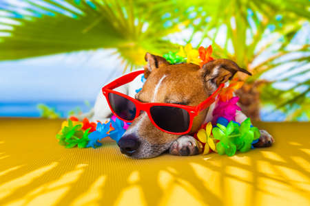 funny animals: jack russell dog under the shadow of a palm tree relaxing and resting Stock Photo