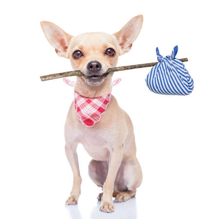 chihuahua dog ready to run away ,ready for adoption, isoalted on white background Stock Photo