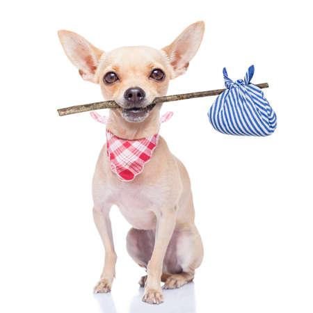 chihuahua hond klaar om weg te lopen, klaar voor adoptie, isoalted op witte achtergrond