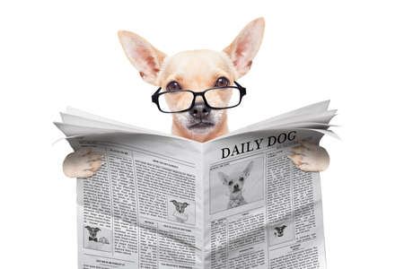 chihuahua dog reading the news on a magazine or newspaper , isolated on white background photo