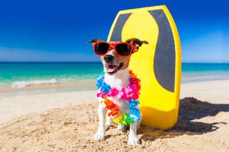surfboard: dog at the beach with a surfboard wearing sunglasses and flower chain at the ocean shore Stock Photo