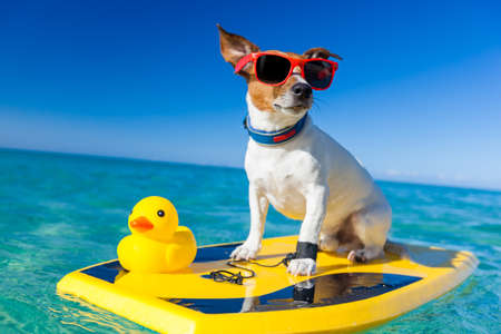 dog surfing on a surfboard wearing sunglasses with a yellow plastic rubber duck, at the ocean shore