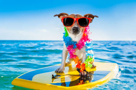 fun: dog surfing on a surfboard wearing a flower chain and sunglasses, at the ocean shore
